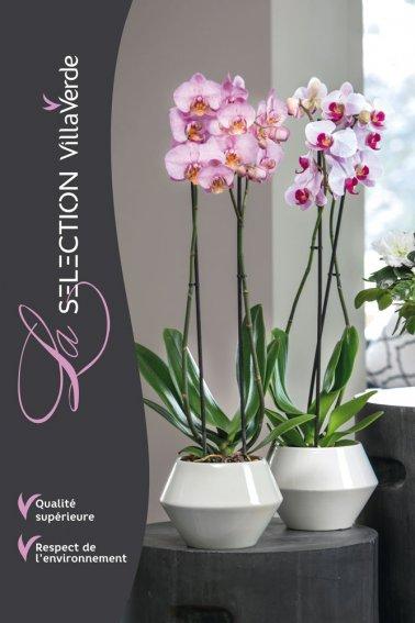 Orchidée papillon, 2 branches - Sélection VillaVerde